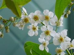bird cherry (cloversun19) Tags: birdcherry butterfly summerimage red image flowerimages picture june flowering bloom blossoming blooming positive happy glory beauty romantic warm pink story love summer grass flowers bright garden springimage morning sun may spring white green branches branch trees wood macro flower appleflower appletree apple tree blossom curtain