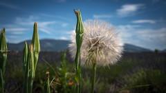Pissenlit sous le soleil de Provence (pascal548) Tags:
