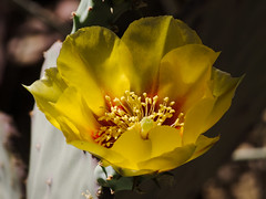 Prickly pear flower in the Cactus & Succulent Gardens, Tucson Botanical Gardens (Distraction Limited) Tags: pricklypear opuntia flowers cactus tucsonbotanicalgardens tucsonbotanical botanicalgardens gardens tucson arizona tbg20180516 cactusandsucculentgarden cactussucculentgarden