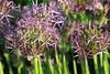 Alliums (x70tjw) Tags: flowers flower bloom blooms garden allums