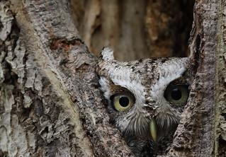 Cute lil' guy! Eastern Screech owl.