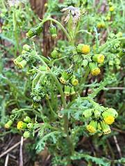 Groundsel (JulieK (thanks for 7 million views)) Tags: groundsel seneciovulgaris wildflower ireland irish wexford green hggt iphonese 100flowers2018