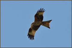 Red Kite With Nesting Material (image 1 of 3) (Full Moon Images) Tags: red kite bird birdofprey flight flying building nest