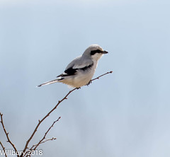 Great Grey Shrike (Willbury not about much.) Tags: great grey shrike perched cotswolds wildlife bird