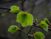 Spring foliage (frankmh) Tags: tree leaf foliage spring hittarp skåne sweden nature
