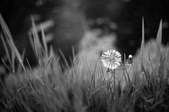 Dutch Spring (romanboed) Tags: leica m 240 summilux 50 europe netherlands holland dutch meadow flowers field spring jaro bokeh dandelion pampeliska black white bw monochrome