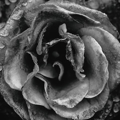 Not the Pieces That Fit With Mine (Thomas Hawk) Tags: america internationalrosetestgarden oregon pdx portland portlandrosegarden rosegarden usa unitedstates unitedstatesofamerica washingtonpark westcoast flower rose us fav10 fav25 fav50