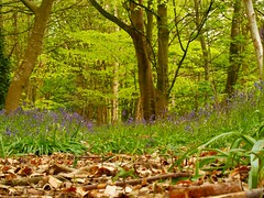 Playing among the bluebells (rebeccadelaney45) Tags: nt spekehall gardensbluebells blie green wood trees peaceful leafy pretty