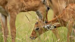 Nairobi-Nationalpark-6699 (ovg2012) Tags: aepycerosmelampus impala kenia kenya nairobi nairobinationalpark safari