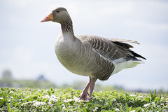 "greylag1 • <a style=""font-size:0.8em;"" href=""http://www.flickr.com/photos/157241634@N04/40937026305/"" target=""_blank"">View on Flickr</a>"