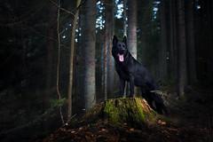 Forest throne (DigitalBite) Tags: dog dogphotography g germanshepherddog gsd blackgsd black woods nature animal tara 5dmarkiii sigmaart 35mm