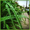 Misty morning. #Takoma #dc #dclife #washingtondc #iphone #iPhonemacro #macro  #flower #flowersofinstagram (Kindle Girl) Tags: iphone takoma dc dclife washingtondc iphonemacro macro flower flowersofinstagram waterdrop waterdroplet raindrop
