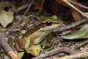 Green Paddy Frog (Hylarana erythraea) (Steven Wong (ATKR)) Tags: steven wong siew por atkr45 stryker wsp atkr herp herping malaysia green paddy frog hylarana erythraea