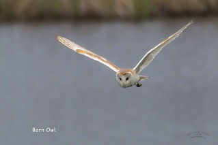 Barn Owl in explore 6th May 2018
