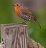 Woodland Wonders (Adam Swaine) Tags: robins robinredbreast rspb gardenbirds birds englishbirds britishbirds wildlife naturelovers nature woodland animals londonparks canon uk ukcounties spring seasons england britain british