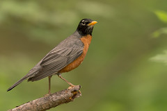 Robin (stevef325) Tags: approved bird robin redbreast breast ornithology nature wildlife woods trees green