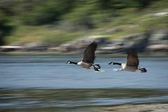 Flying and Honking (Kshatrya) Tags: bc bird brantacanadensis britishcolumbia canada canadageese canadagoose colwood esquimaltlagoon fauna vi vancouverisland