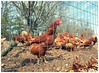 Are you Chicken (djrocks66) Tags: film medium format 120 roll mamiya 645 kodak ishootfilm filmsnotdead fpp home developing nature spring trees flowers outdoors park bench pretty color chicken