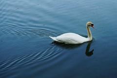 DSC06641 (olliethewino) Tags: bath priorpark swan flies
