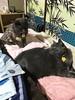 """See what happens...?"" (sjrankin) Tags: 7may2018 edited animal cat bonkers yuba pillow tunic blanket towel futon bedroom yubari hokkaido japan"