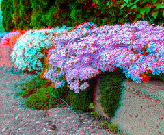 Anaglyph Flower Curb (Irrational Photography) Tags: montreal quebec canada anaglyph stereo stereograph photo picture red cyan blue magenta 3d anaglyphs photography fuji fujifilm w3 finepix white sky cloud saint tree leaf leaves glasses flower flowers purple clover street curb curve richelieu montérégie valley country landscape vallée sur walk walking path people city shop shoppe window wall road