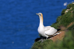 Gannet (Karen Roe) Tags: bemptoncliffs bempton coast cliff naturereserve nature reserve yorkshire county england britain uk unitedkingdom greatbritain gb canoneos760d canon 760d 150600mm sigma zoom contemporary wildlife may 2018 peaceful quiet tranquil outside spring weather season camera photography photograph photographer picture image snap shot photo karenroe female flickr visit visitor rspb royal society protection birds member sea coastal