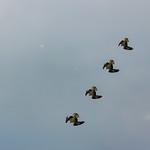 Osprey Diving thumbnail