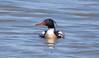 _U7A1663 (rpealit) Tags: scenery wildlife nature edwin b forsythe national refuge drake redbreasted merganser bird duck