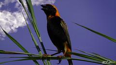 CARDEAL_TECELÃO_VERMELHO_MUTIVAZE_NAMPULA_MOÇAMBIQUE (Euplectes orix) (paulomarquesfotografia) Tags: paulo marques cardeal tecelão vermelho mutivaze moçambique nampula sony hx400v passaro mozambique bird céu sky clouds nuvens animal euplectes orix