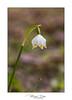 Leucojum vernum - Niveole (Mig 74) Tags: bise végétaux 74 fleur lieux nivéole flickr chaletsdebise