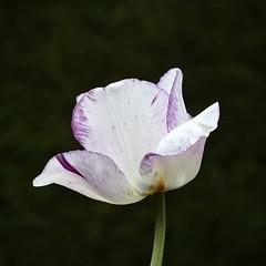 Blackcurrant Ripple #1 (MJ Harbey) Tags: tupli tulipa plantae flower garden ascotthouse nationaltrust buckinghamshire nikon d3300 nikond3300 ripple lilieae