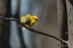 Doing the feather fluffle (Earl Reinink) Tags: spring tree woods outdoors bird animal nature wildlife earl reinink earlreinink warbler yellow bluewingedwarbler rtuuzdodza