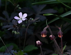 Small Blue and Orange, Macro (vern Ri) Tags: macro flora fiori fleur flower blumen pink blue tine