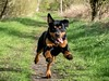 Can't stop....xx (shona.2) Tags: morningwalks sunshine eastlothian scotland nova pet dog pup puppy rottweiler rottie