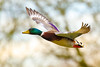 Mallard in flight (stellagrimsdale) Tags: mallard duck inflight