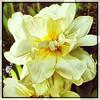 The walk home. #Takoma #dc #dclife #washingtondc #iphone #iPhonemacro #macro  #flower #flowersofinstagram (Kindle Girl) Tags: iphone takoma dc dclife washingtondc iphonemacro macro flower flowersofinstagram