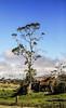Tree Amidst Some Ruins (wyojones) Tags: hawaii bigisland village volcano shed ruins metal tree farm clouds cloudscape sky