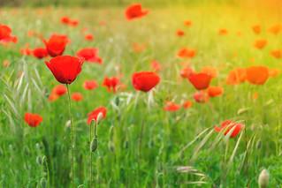 Poppies: #5.