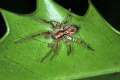 "Anyphaena accentuata - mâle, l'araignée ""citroën"". (chug14) Tags: unlimitedphotos animalia araignée spider arthropoda arachnida araneae anypjaenidae araignéecitroën araignéevibrante"