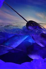 Narwhals (Adventurer Dustin Holmes) Tags: 2018 wondersofwildlife museum narwhal animal animals fish ocean aquatic display exhibit