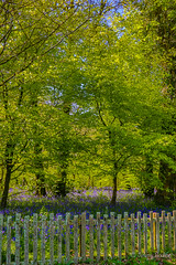 Fenced (JKmedia) Tags: spring may 2018 cornwall lanhydrock nationaltrust boultonphotography bluebells blue green sunny warm