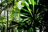 Fan Dance (Anne Marie Clarke) Tags: palms ferns greenhouse enidahauptconservatory green shadows light 7dwf flora pattern