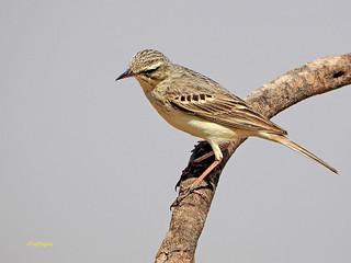 Bisbita campestre (Anthus campestris) (33)