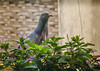 The rock pigeon (captured-beauty) Tags: dipzkathait dipzkathaitphotography indianphotographer birdphotography birdpicture birds pigeon nature