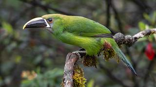 Aulacorhynchus prasinus albivitta (Emerald toucanet / Tucancito esmeralda)