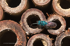 Ruby-tailed Wasp - WWT (120) (Malcolm Bull) Tags: 20180519wwt0120edited1 include arundel wwt ruby tailed wasp bee hotel