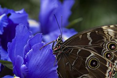 Butterfly #5 (Marco_964) Tags: macrodreams macro closeups closeup butterfly farfalla colori colors dettagli detail pentaxk50 pentax macromania