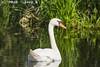Zwaan_Wilck_Hazerswoude (Joop_K) Tags: zwaan swan sigma150600f563contemporary nikond7200