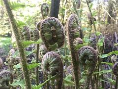 Photo of Ferns Unfurl