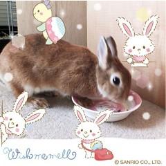 ICHIGO san 87 (Ichigo Miyama) Tags: いちごさん。うさぎ ichigo san rabbitbunny cute netherlanddwarf brown ネザーランドドワーフ ペット うさぎ いちごrabbit bunny いちご
